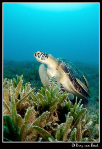 Turtle at Marsa Shouna. by Dray Van Beeck 